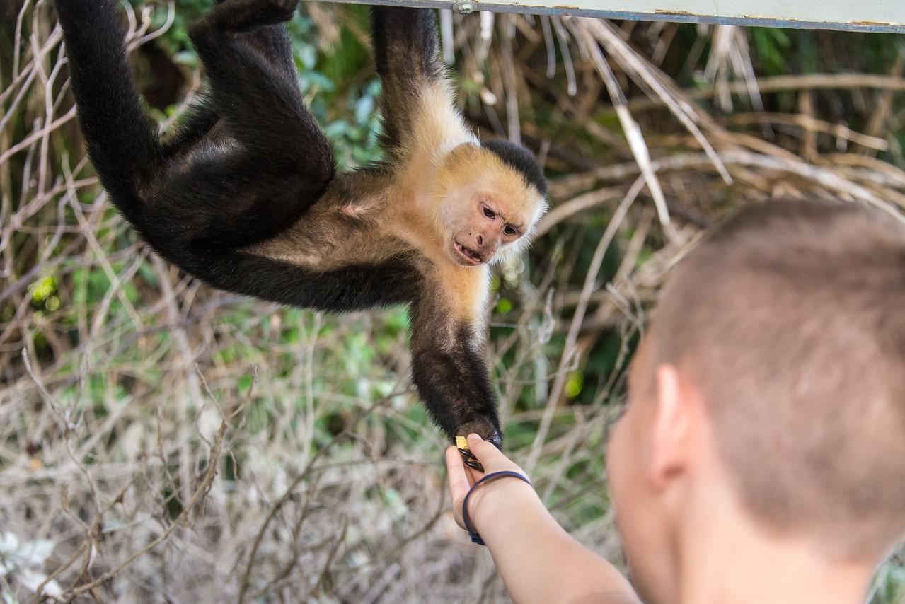 White-Faced Monkey along the Rio Tempisque River in Palo Verde National Park, Costa Rica - December 2014