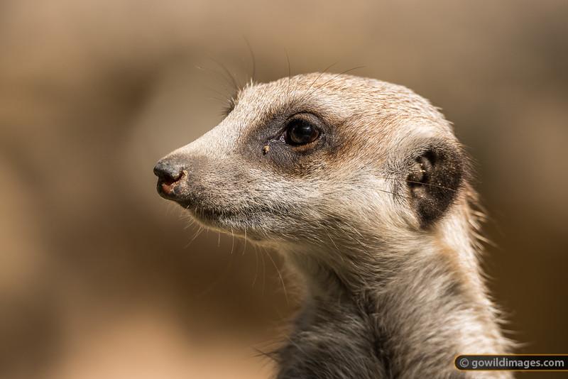 Meerkat Profile