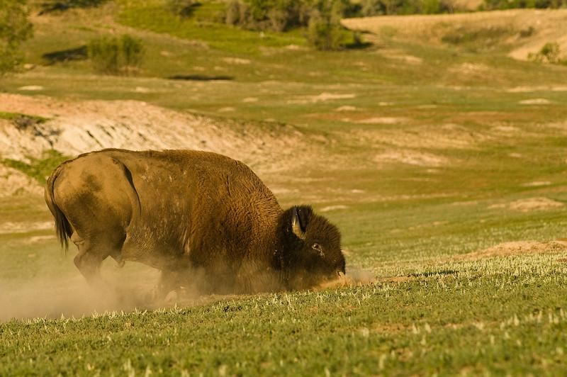 MBU-8047: Taking dust bath during rut (Bison bison)