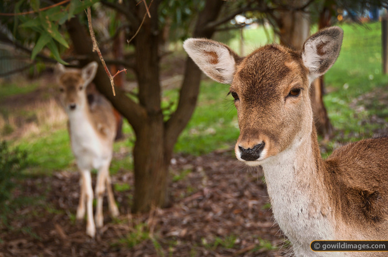 Sambar deer, hinds. Other angles available.