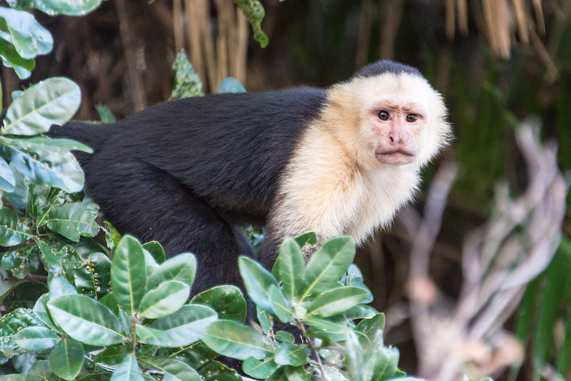 White-Faced Monkey along the Rio Tempisque River in Palo Verde National Park, Costa Rica - December 2014