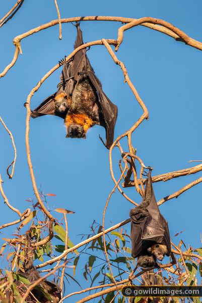 Bat Pups