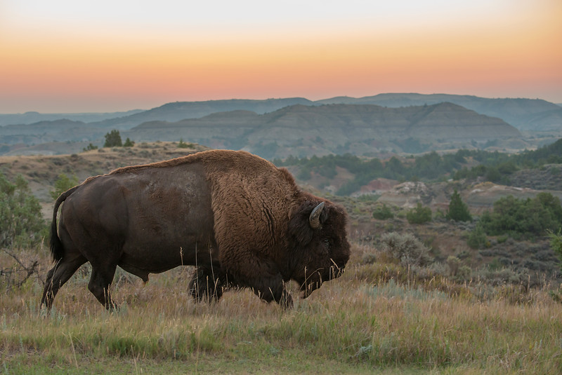 Bull Bison at sunset