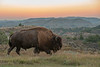 Bull Bison at sunset