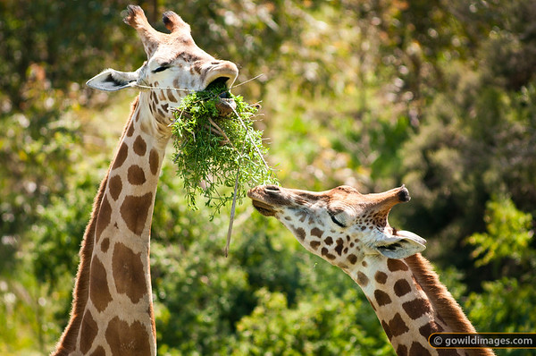 Giraffes eating, sharing food. Lady and The Tramp? Other angles available.