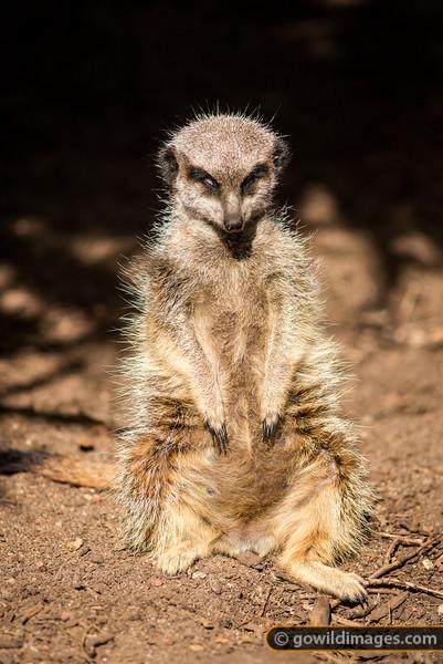 Meerkat Nap