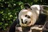 Panda Doze