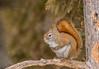 Classic Red Squirrel pose