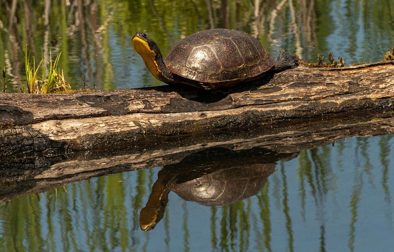 Blanding Turtle sunning on log