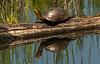 Blanding Turtle sunning on log