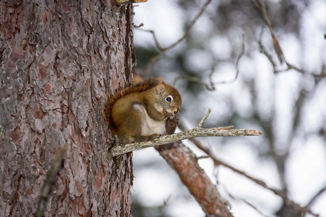 Red Squirrel, Tahquamenon Falls, MI - February 2016