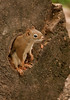 MRD-1009: Red Squirrel in hollow log (Tamiasciurs hudsonicus)