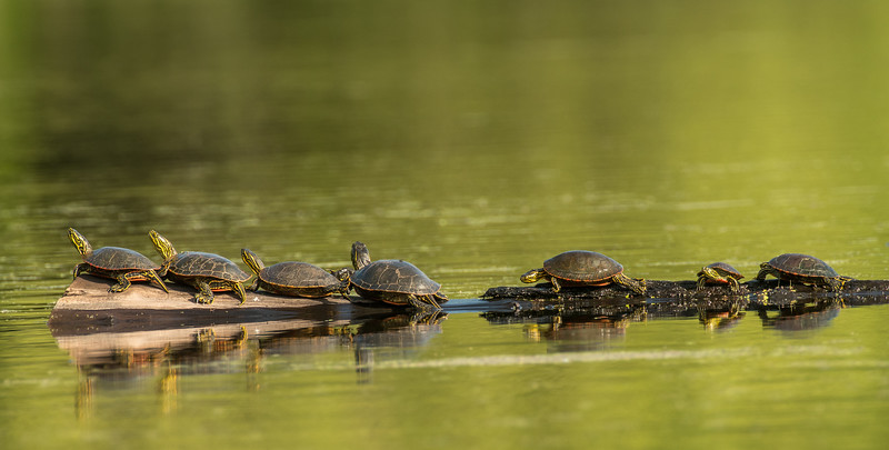 Painted Turtles soaking up the sun