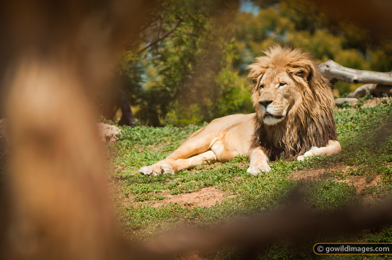 Male lion relaxing in the grass