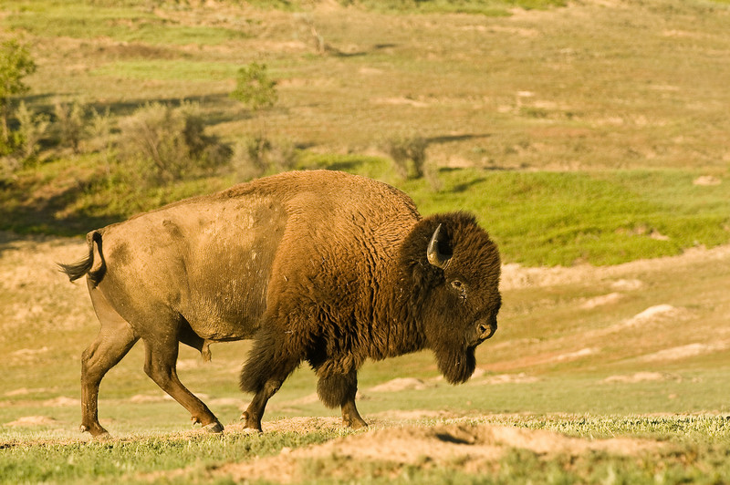 MBU-8060: Bull Bison at Teddy Roosevelt NP (Bison bison)