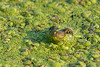 Frog eyes through Duckweed