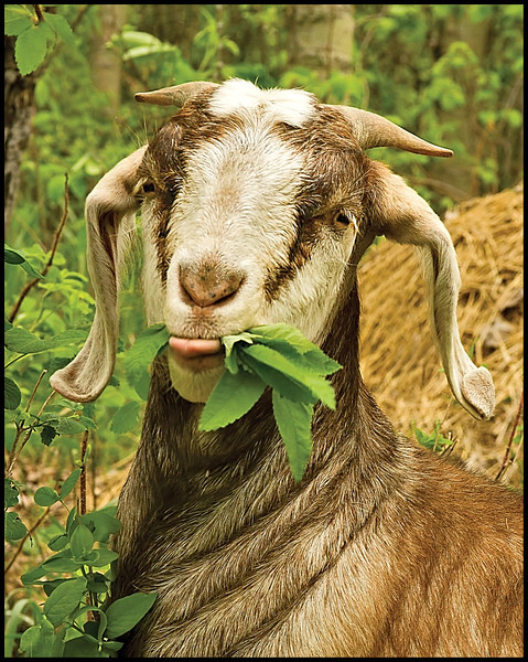 Norman, the goat.  :o)