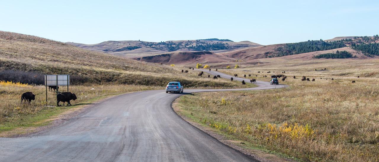 Approaching Buffalo grazing in Custer State Park, South Dakota - October 2014