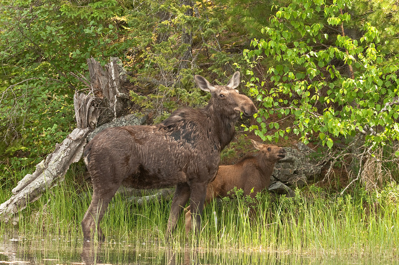 MMO-9034:Cow and calf browsing (Alces alces)