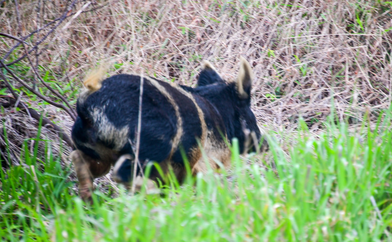 Brief glimpse of skittish feral Pig in Volcanoes National Park, The Big Island, HI - March 2018