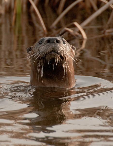 MRD-1003: River Otter at Crex Meadows WMA
