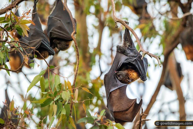 Bat Grooming