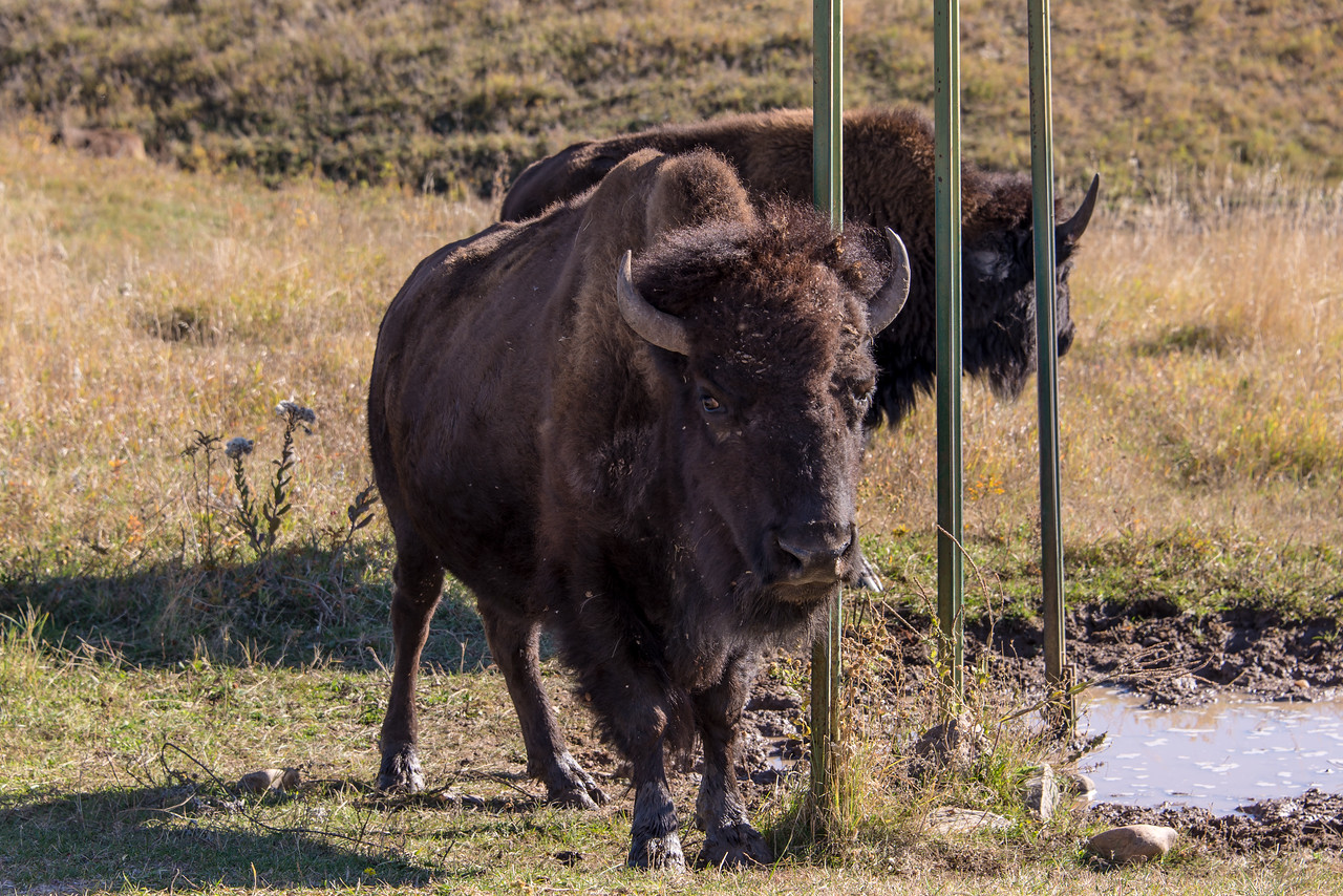 Buffalo in Custer State Park, South Dakota - October 2014