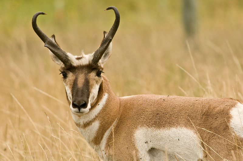 MPG-8098:Pronghorn Antelope portrait (Antilocapra americana)