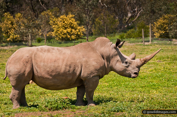 Southern White Rhinoceros, the largest species of rhino. Other angles available.