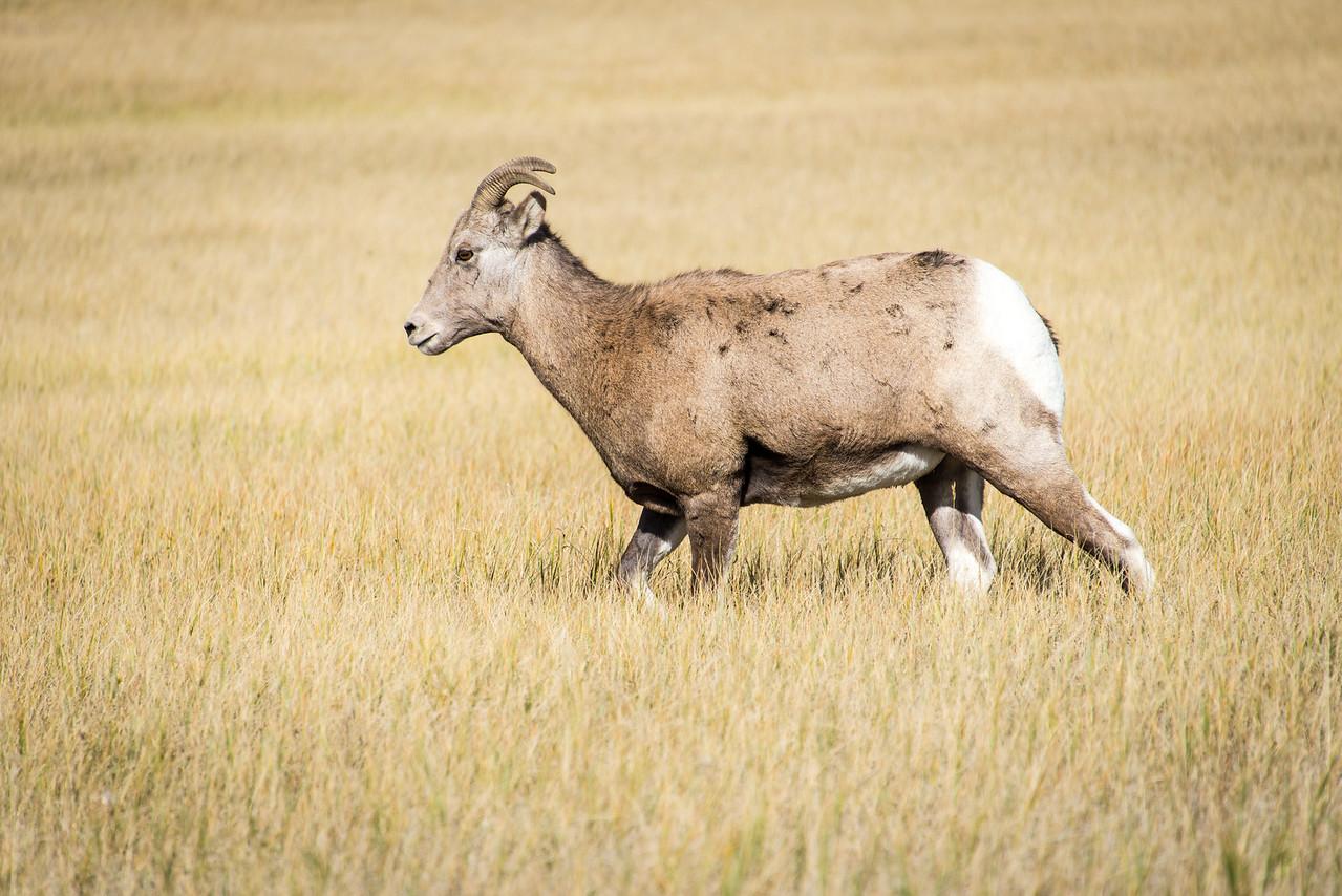 Bighorn Sheep in Badlands National Park, South Dakota - October 2014