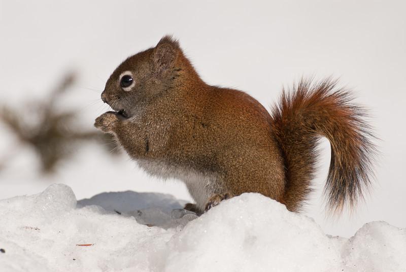 MRD-11005: Feeding Red Squirrel (Tamiasciurs hudsonicus)