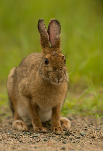 Alert Snowshoe Hare