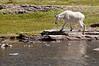 MGT-12045: Billy Goat (Oreamnos americanus)