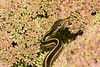 Garter Snake on sedum