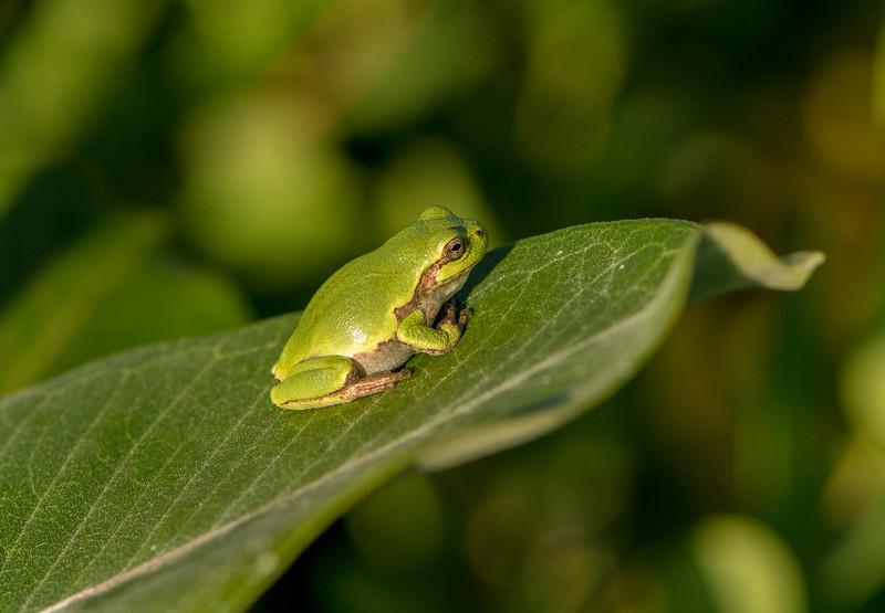 Gray Tree Frog on Common Milkweed leaf