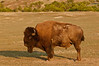 MBU-12020: Lone Bull Buffalo at Teddy Roosevelt NP (Bison bison)