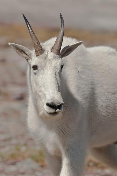 MGT-12020: Rocky Mountain Goat portrait (Oreamnos americanus)