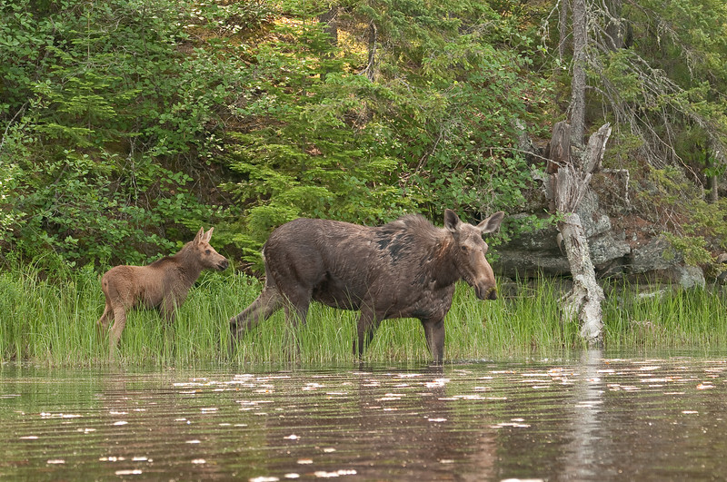 MMO-9026:Cow and calf entering Lake One in the BWCAW (Alces alces)