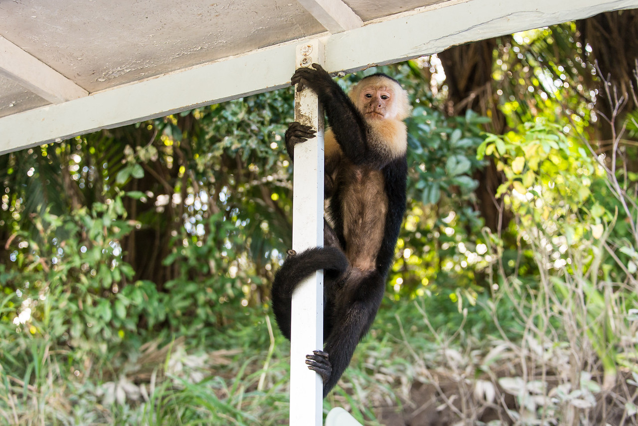 White-Faced Monkey looking for a handout along the Rio Tempisque River in Palo Verde National Park, Costa Rica - December 2014
