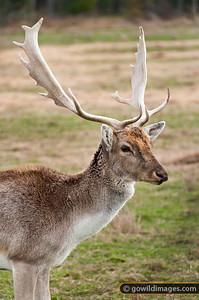 Sambar deer, buck. Other angles available.