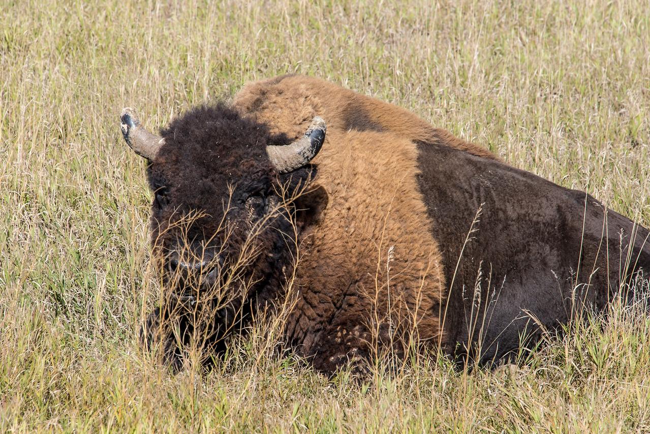 Resting Buffalo in Badlands National Park, South Dakota - October 2014
