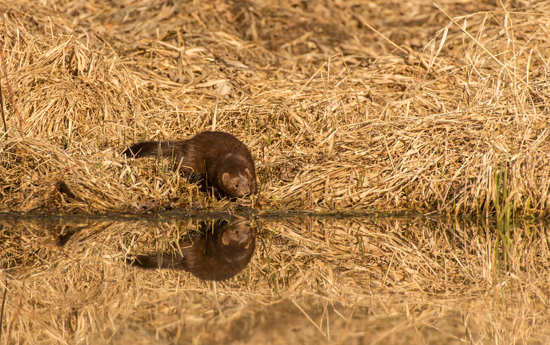 American Mink hunting