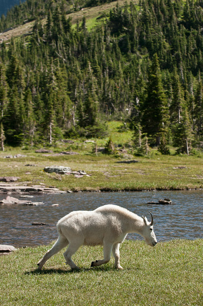 MGT-12055: Rocky Mountain Goat in Glacier National Park (Oreamnos americanus)