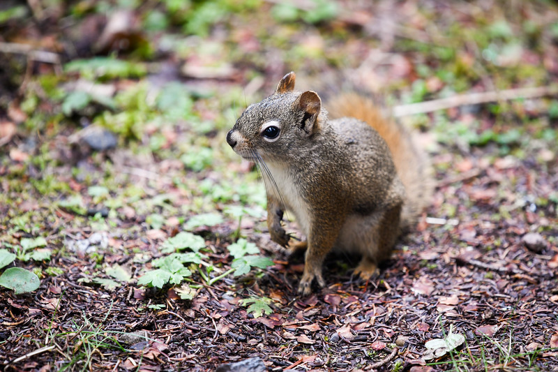 A Red Squirrel (present at every campsite) takes a break from circling the campsite on Isle Royale National Park, September 21, 2018