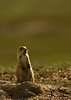 MRD-8028: Blacktail Prairie dog at sunset (Cynomys ludovicianus)