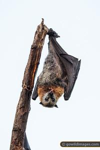 Cheeky Bat