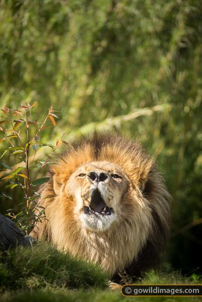 Chaka's Roar
