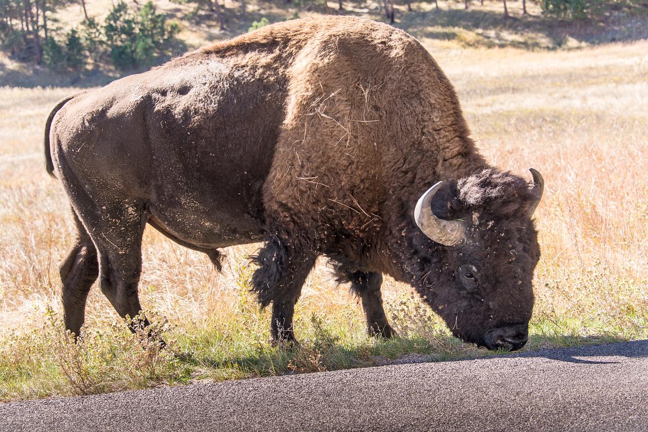 Buffalo in Badlands National Park, South Dakota - October 2014