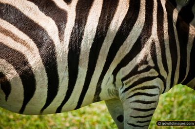 Zebra stripe detail close-up