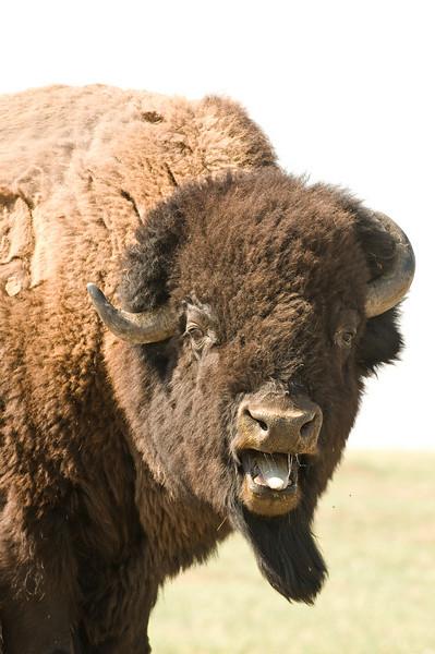 MBU-8084: Bellering Bull (Bison bison)